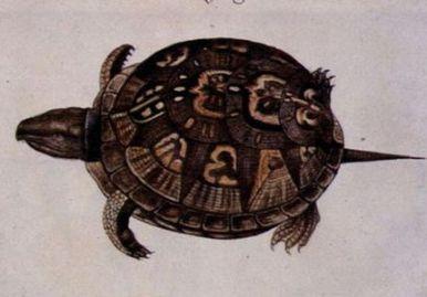 Common-Box-Tortoise